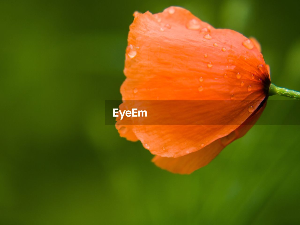 close-up, freshness, beauty in nature, flowering plant, petal, orange color, fragility, flower, plant, vulnerability, growth, inflorescence, flower head, focus on foreground, no people, day, nature, drop, orange