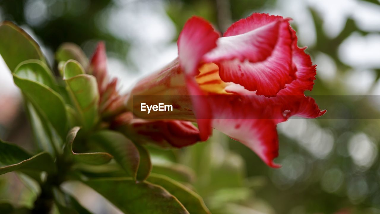 plant, flower, flowering plant, beauty in nature, freshness, petal, vulnerability, fragility, growth, close-up, flower head, inflorescence, focus on foreground, red, no people, nature, day, plant part, leaf, selective focus, sepal