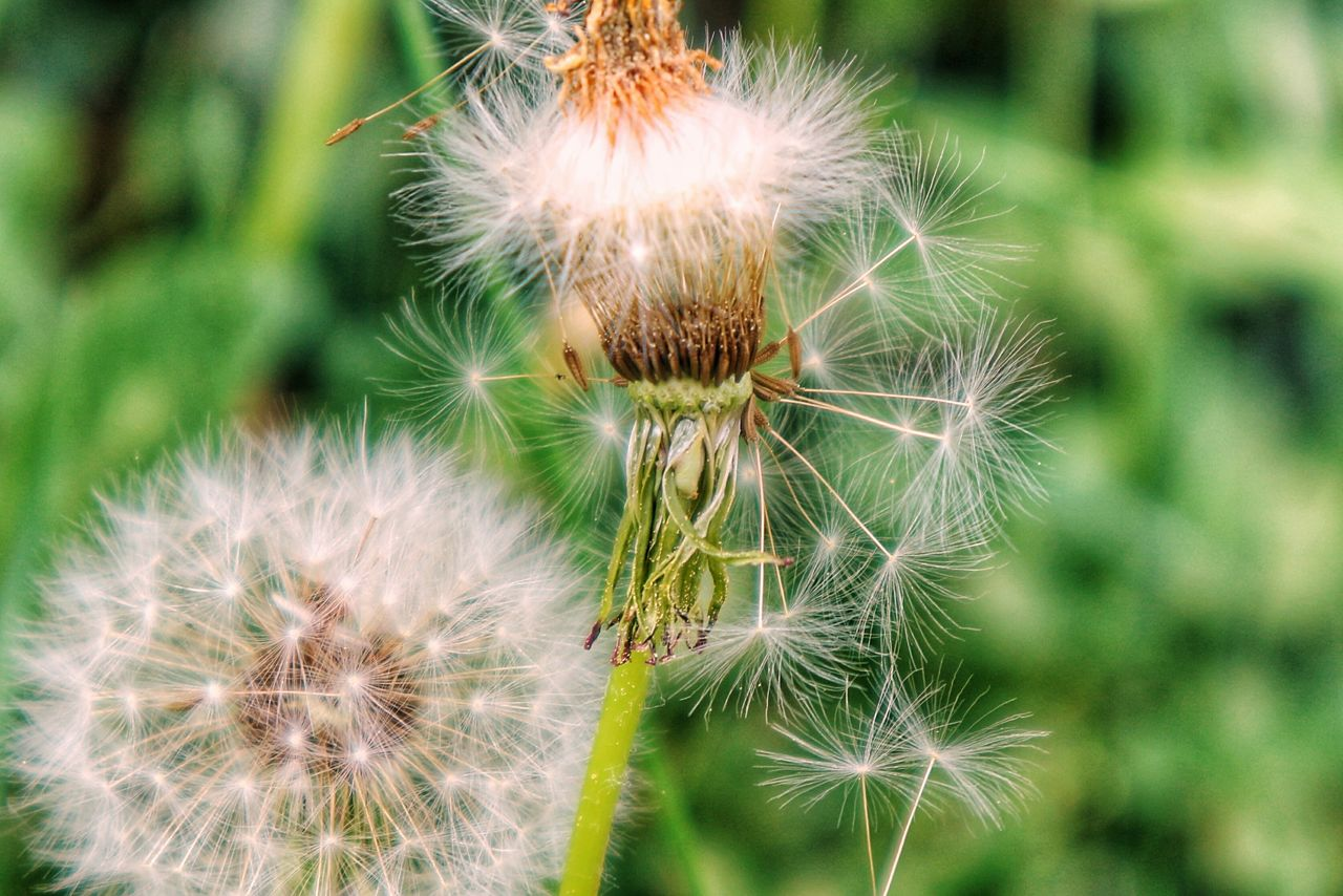 flower, fragility, plant, close-up, vulnerability, flowering plant, freshness, beauty in nature, growth, focus on foreground, dandelion, no people, nature, day, green color, inflorescence, dandelion seed, outdoors, flower head, seed, softness, spiky