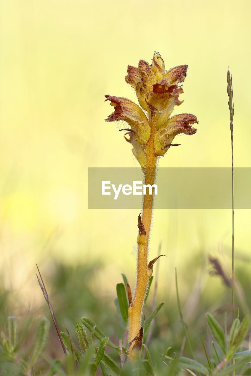 plant, growth, close-up, beauty in nature, no people, nature, flower, flowering plant, field, land, focus on foreground, day, plant stem, selective focus, freshness, vulnerability, green color, grass, outdoors, fragility, wilted plant