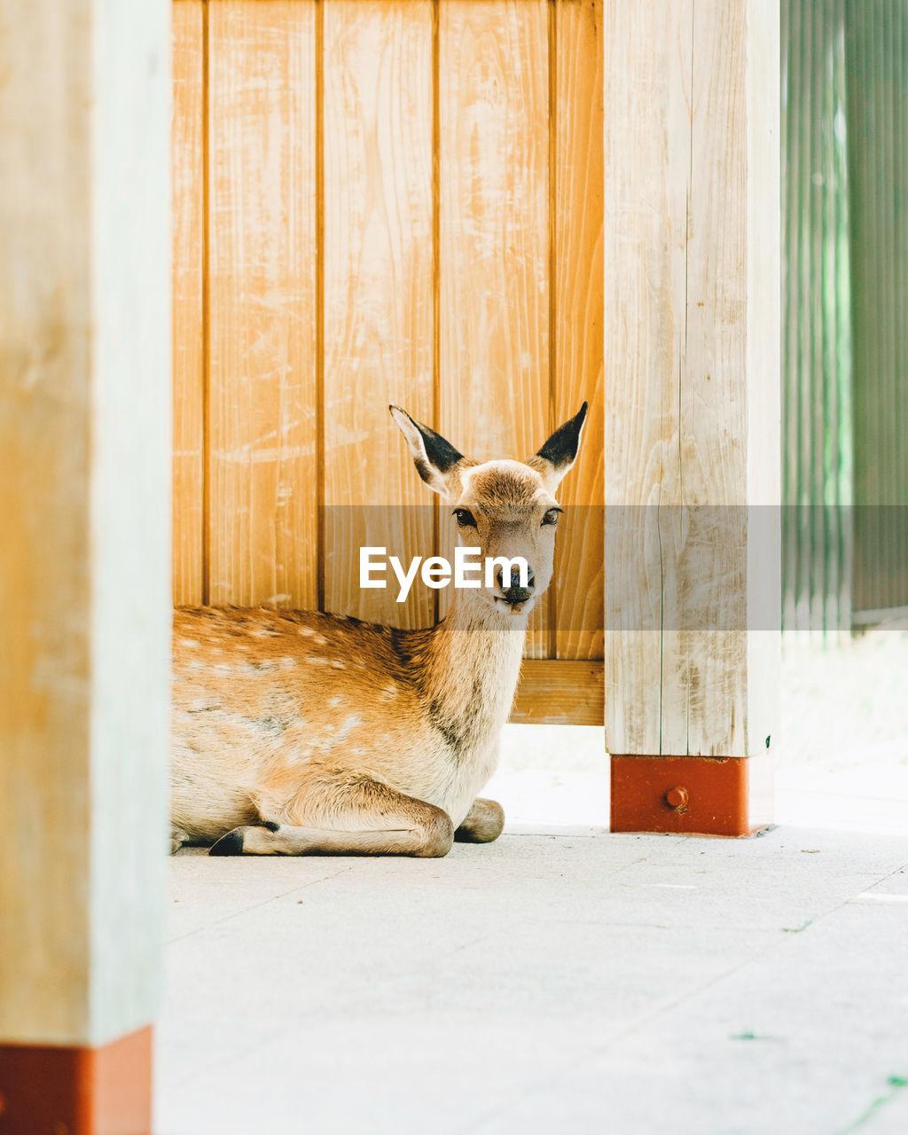 Portrait Of Deer Sitting By Wooden Wall