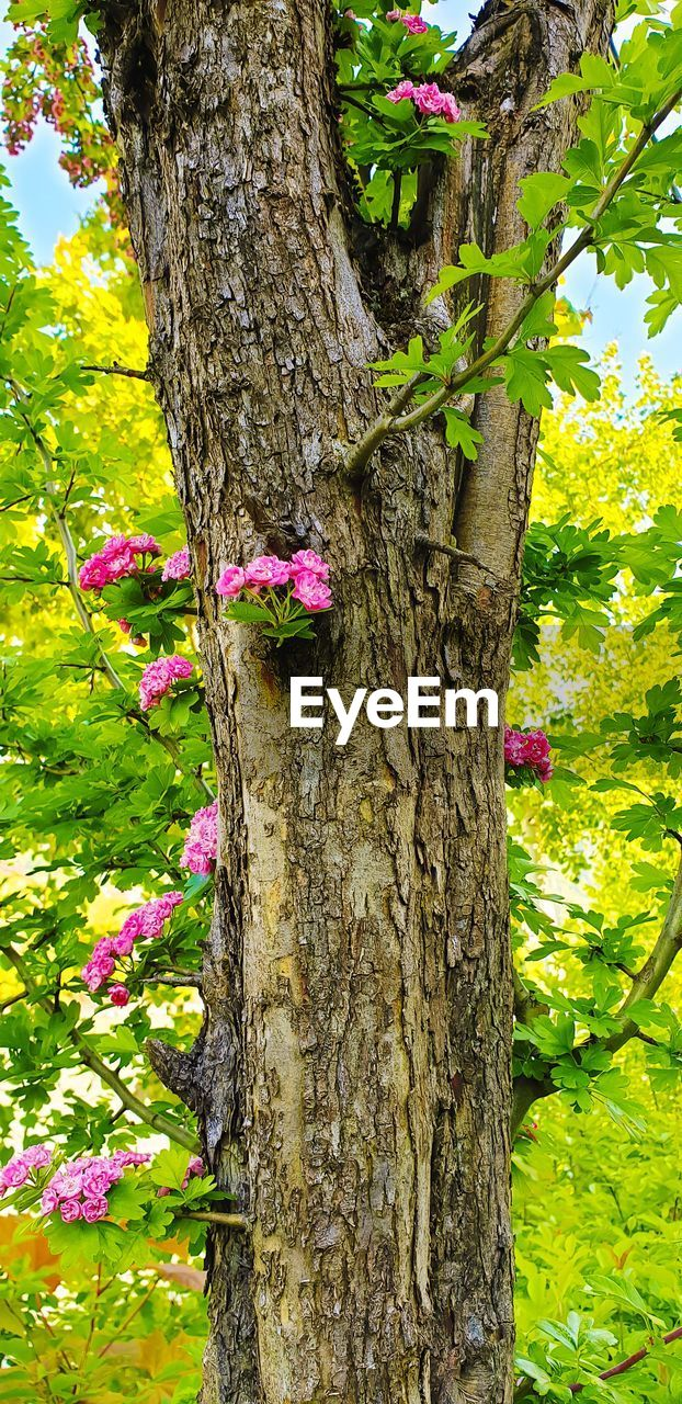 CLOSE-UP OF PINK FLOWERING TREE TRUNK
