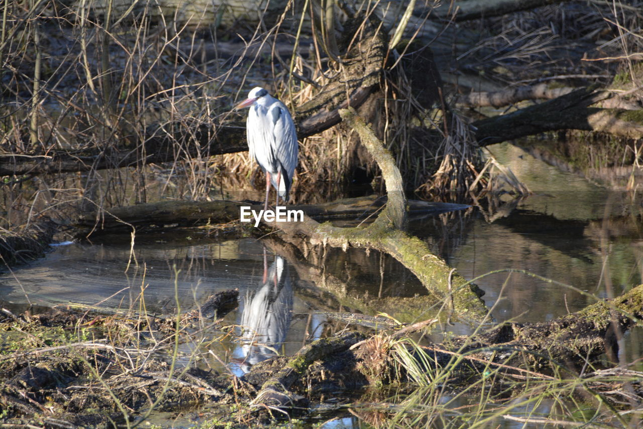 bird, animals in the wild, animal wildlife, one animal, animal themes, heron, perching, water, nature, gray heron, day, outdoors, no people, great egret