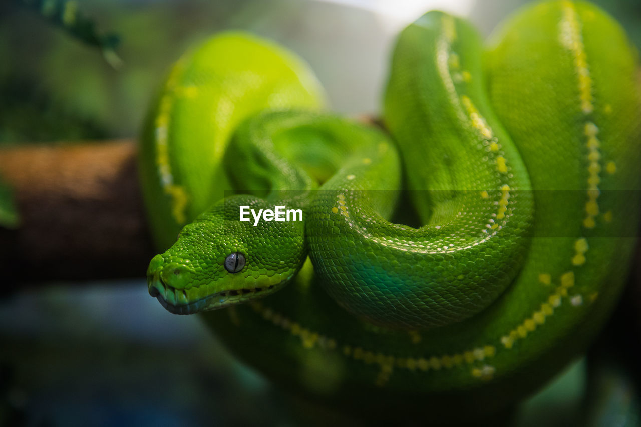 reptile, animal wildlife, animal themes, snake, one animal, animals in the wild, green color, animal, vertebrate, close-up, no people, nature, selective focus, focus on foreground, day, plant, animal body part, branch, outdoors, curled up, poisonous, animal scale, animal head, animal eye