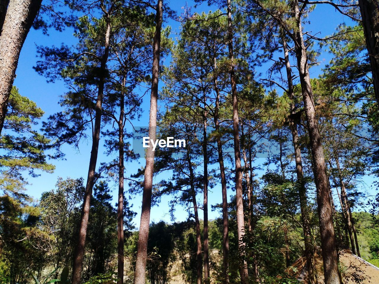 tree, forest, nature, growth, low angle view, beauty in nature, tranquility, day, no people, tree trunk, scenics, outdoors, tranquil scene, branch, clear sky, sky