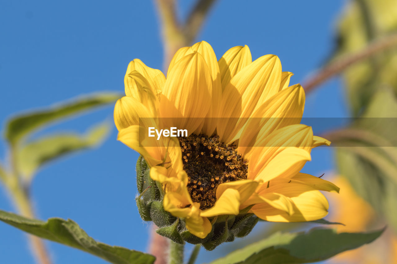 flower, fragility, petal, yellow, beauty in nature, nature, freshness, growth, flower head, plant, day, outdoors, no people, blooming, sunflower, close-up, clear sky, sky