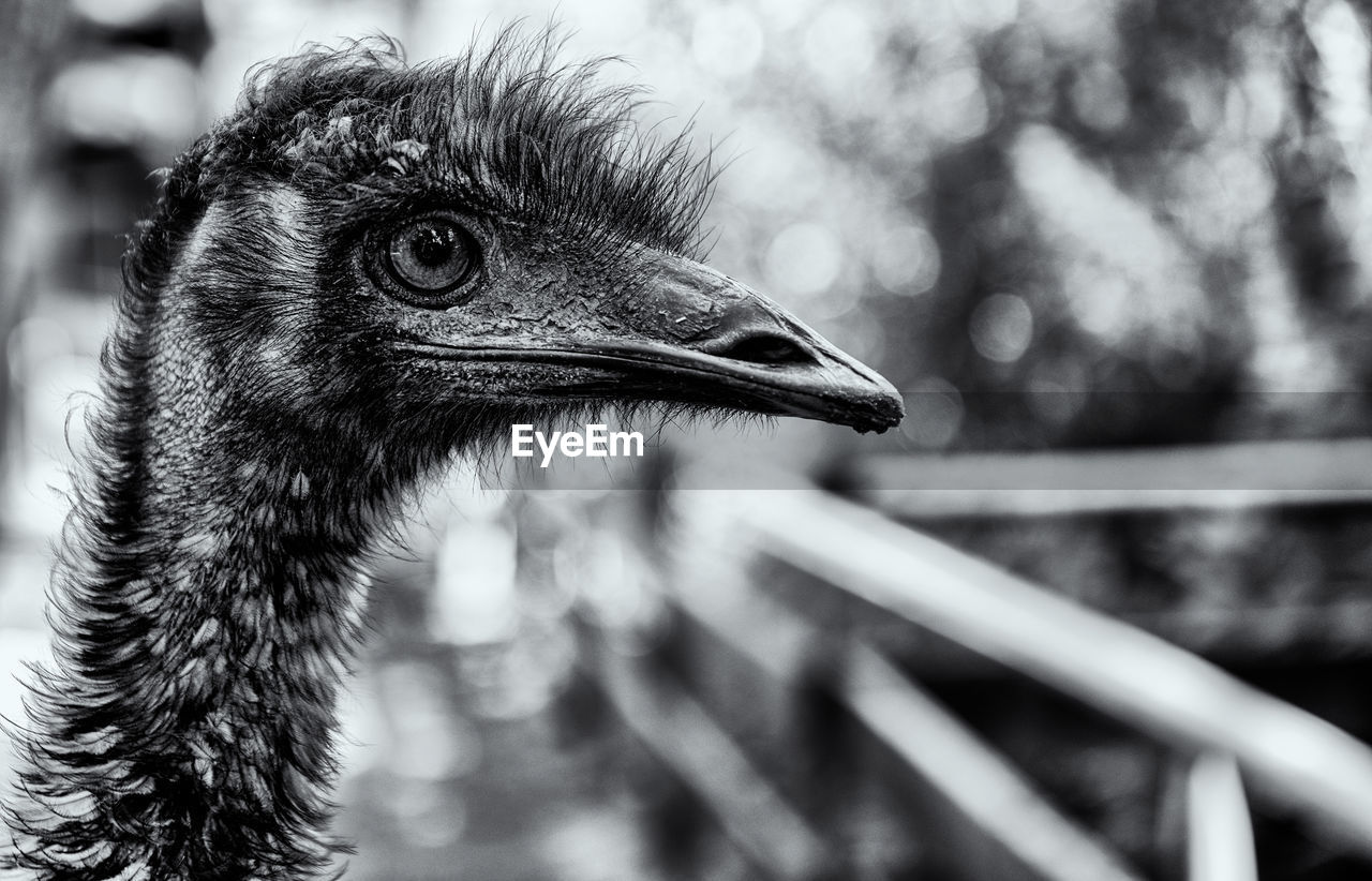 bird, animal, animal themes, focus on foreground, vertebrate, one animal, animals in the wild, animal wildlife, close-up, no people, day, beak, animal body part, ostrich, looking, animal head, nature, outdoors, looking away, side view, animal neck, profile view, animal eye