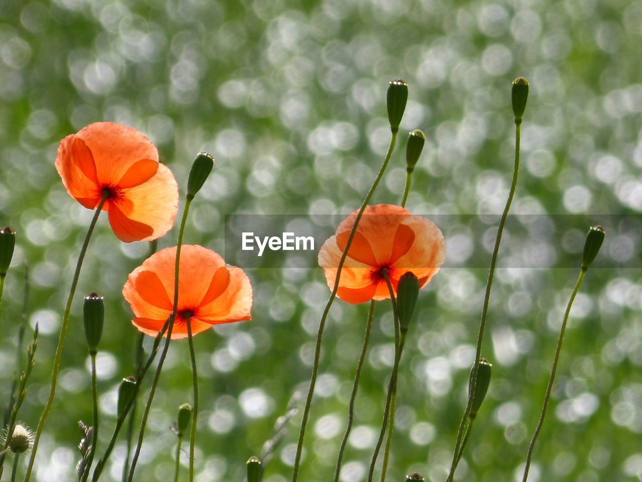 flower, growth, nature, plant, beauty in nature, freshness, orange color, petal, flower head, blooming, fragility, no people, focus on foreground, outdoors, day, close-up