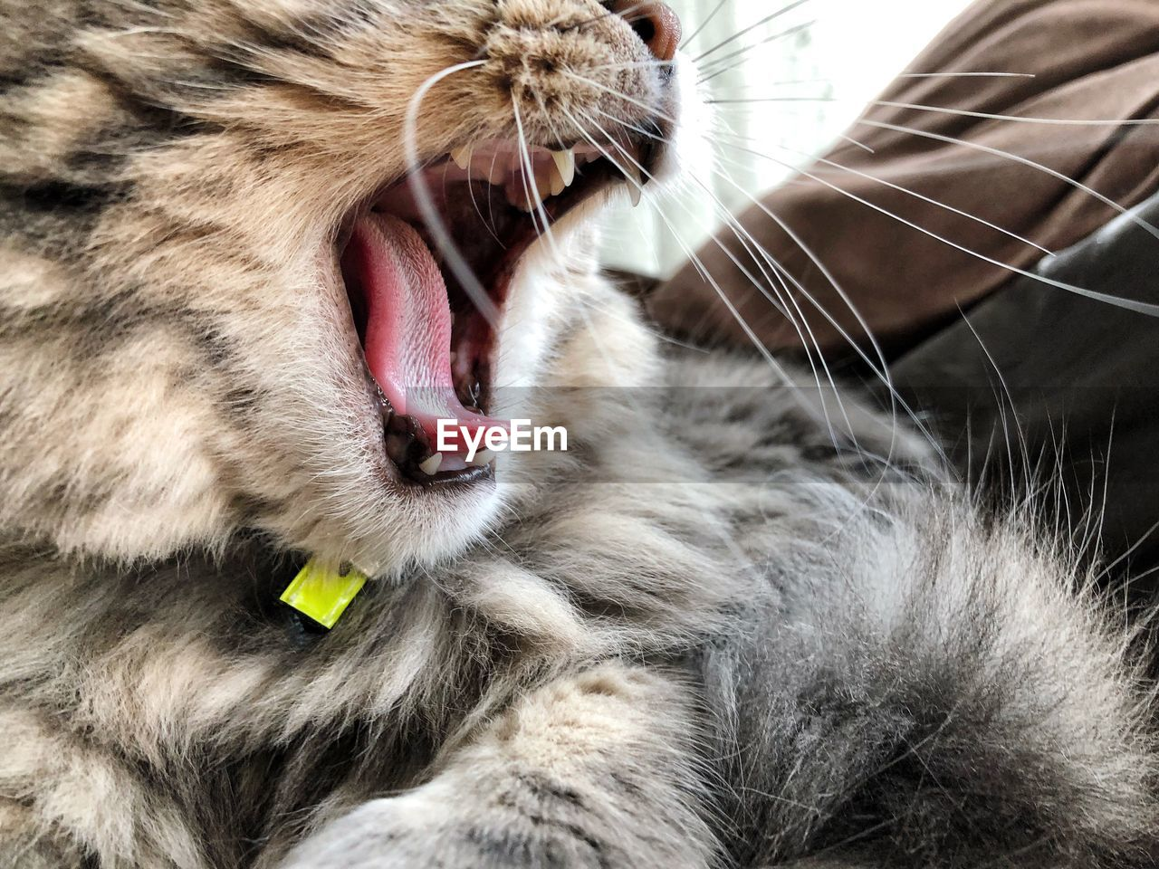 mammal, animal, animal themes, mouth open, mouth, cat, one animal, feline, domestic cat, yawning, animal body part, facial expression, whisker, domestic animals, pets, close-up, vertebrate, domestic, animal teeth, no people, animal tongue, animal head, animal mouth
