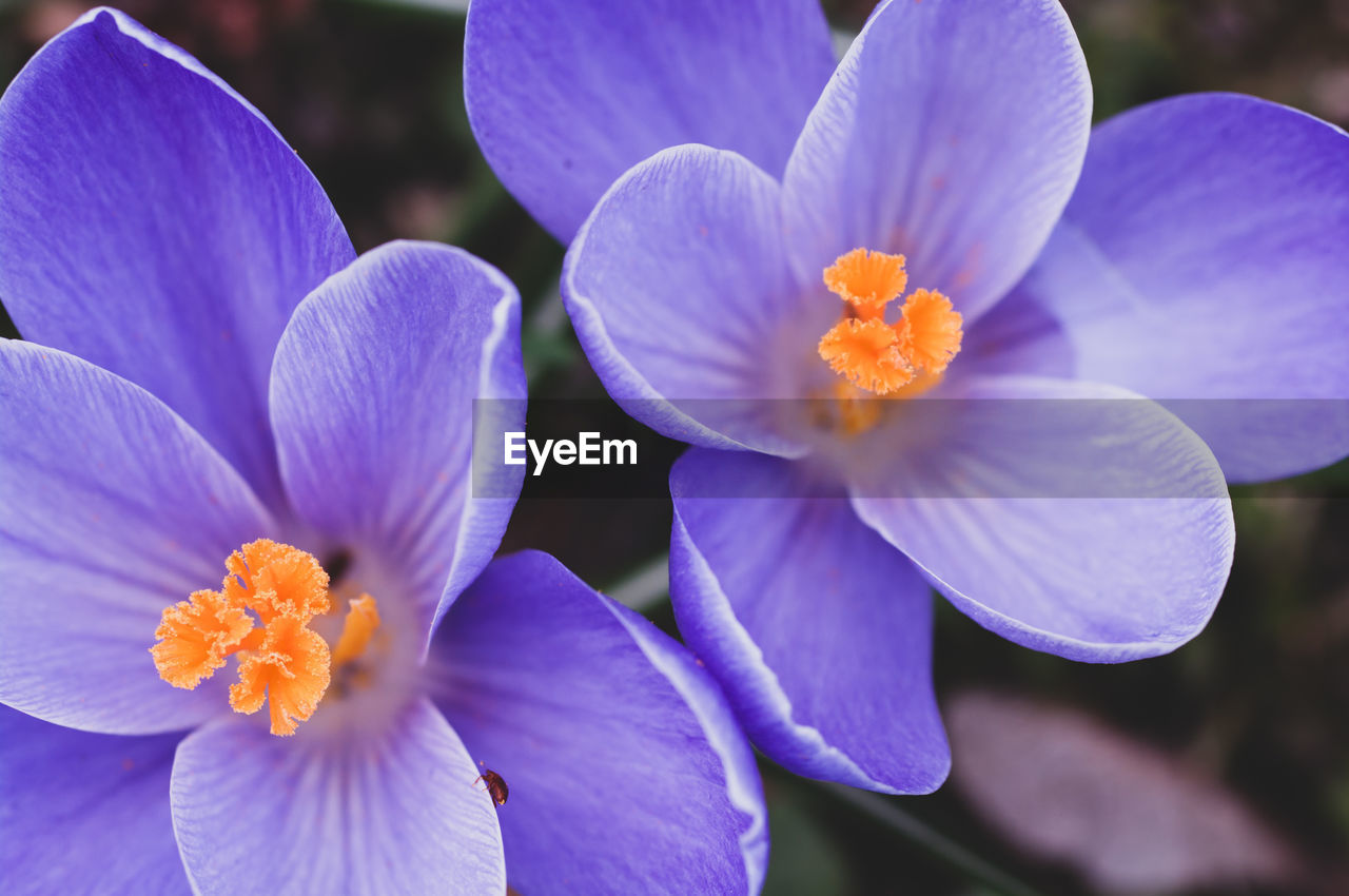 flowering plant, flower, vulnerability, fragility, petal, beauty in nature, inflorescence, freshness, flower head, plant, close-up, growth, purple, focus on foreground, no people, pollen, nature, day, botany, outdoors, crocus
