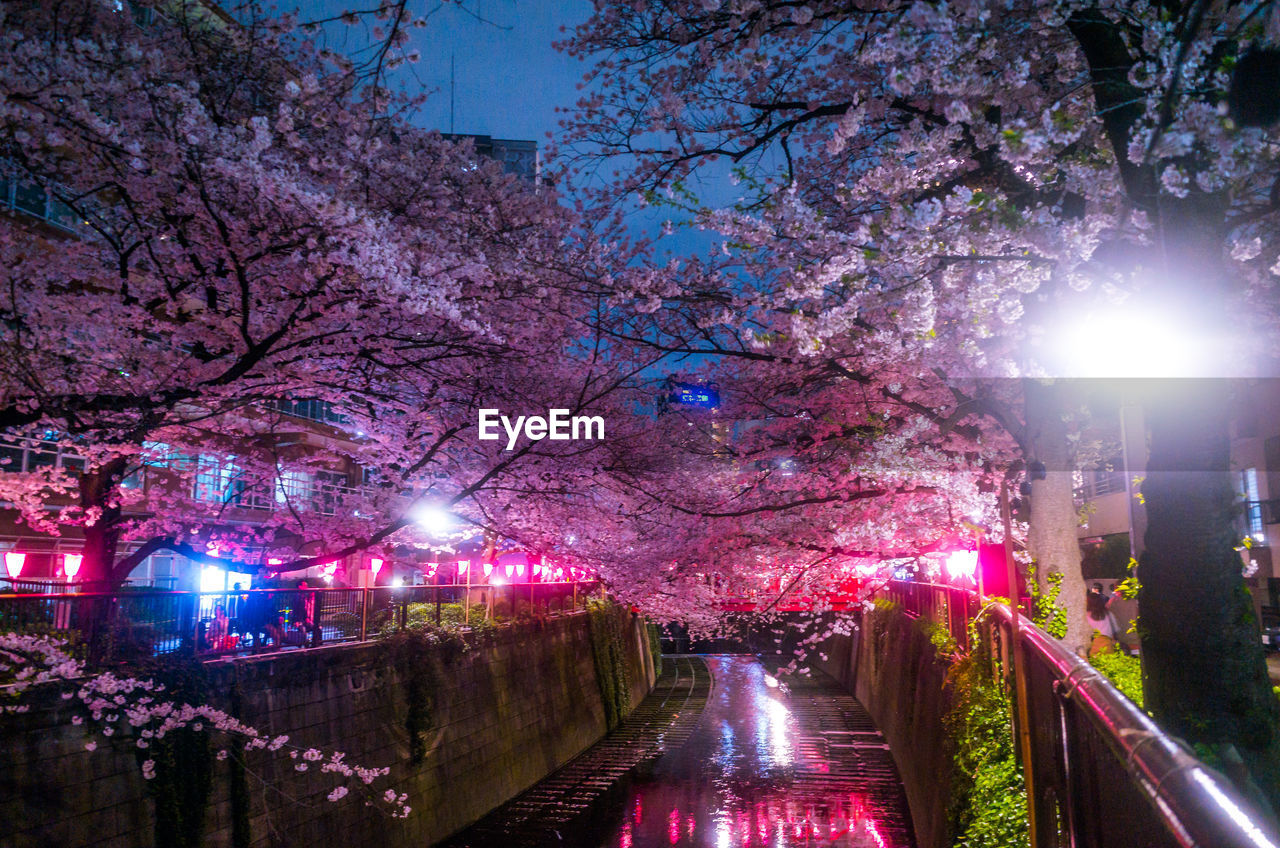 Canal Amidst Cherry Trees In City At Night