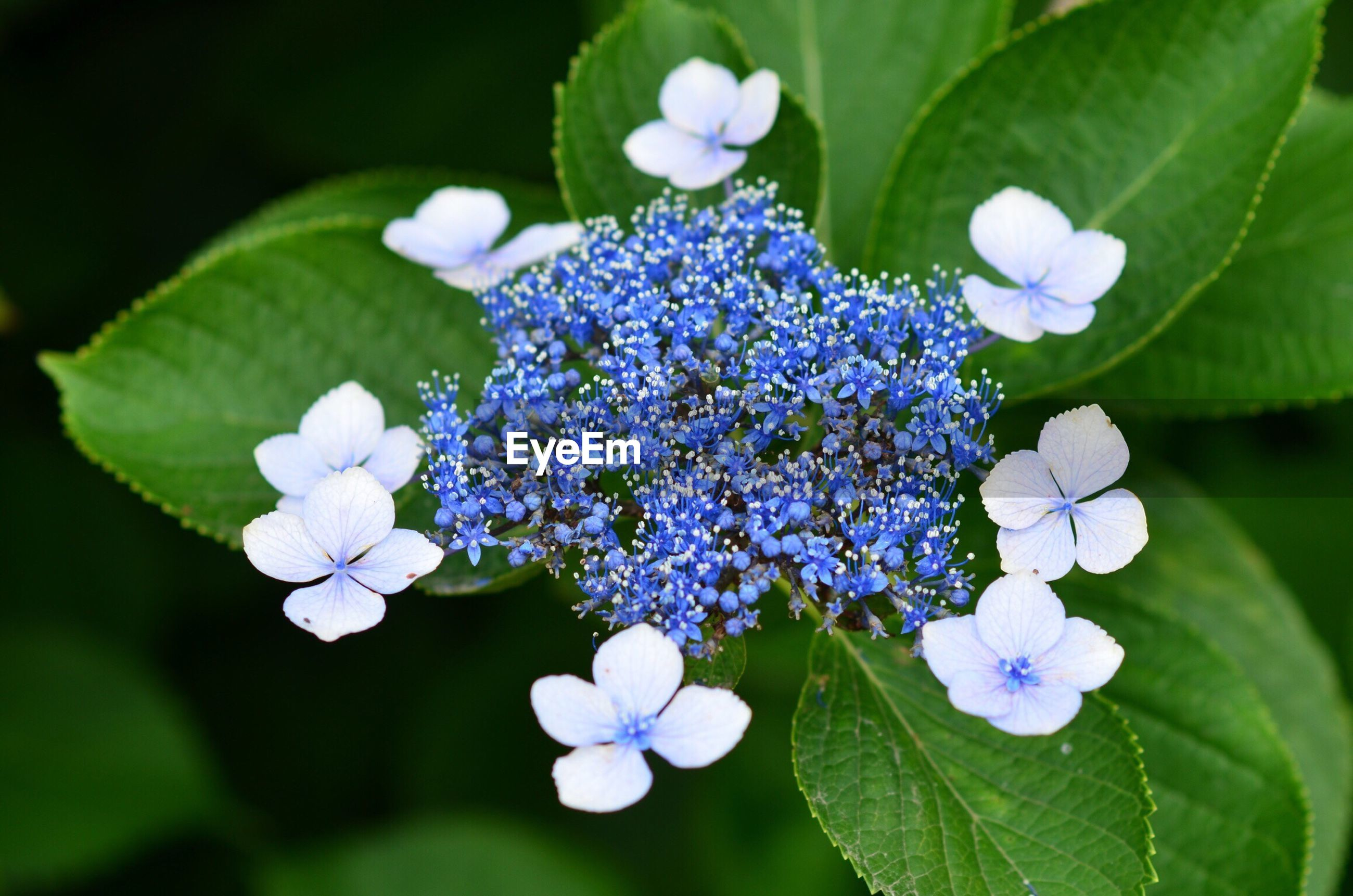 fragility, freshness, flower, purple, petal, growth, beauty in nature, blue, close-up, flower head, springtime, nature, in bloom, selective focus, plant, blossom, botany, day, blooming, green color, bloom, focus on foreground, hydrangea, flowering plant, no people, softness, growing