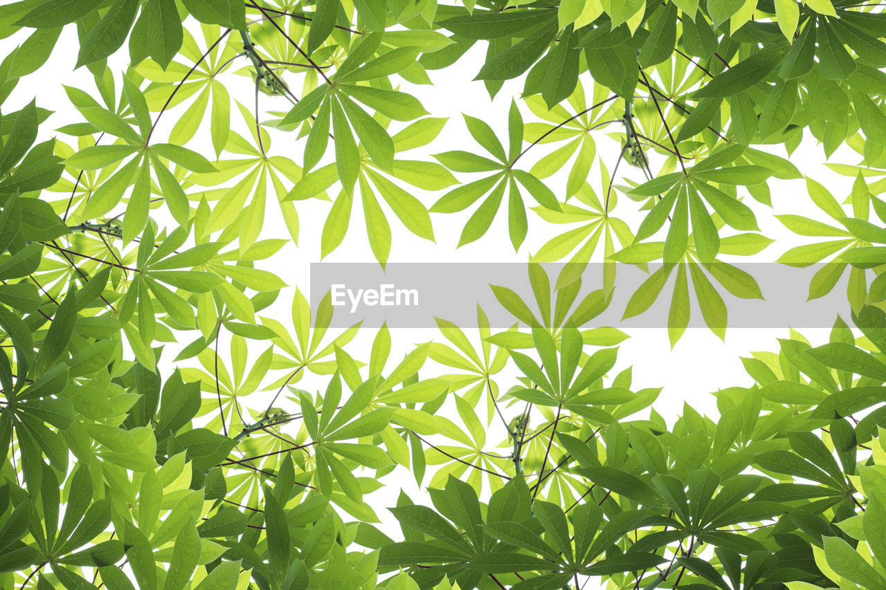 leaf, plant, plant part, growth, green color, beauty in nature, nature, no people, day, sunlight, tree, backgrounds, close-up, outdoors, tranquility, medicine, healthcare and medicine, full frame, cannabis plant, low angle view