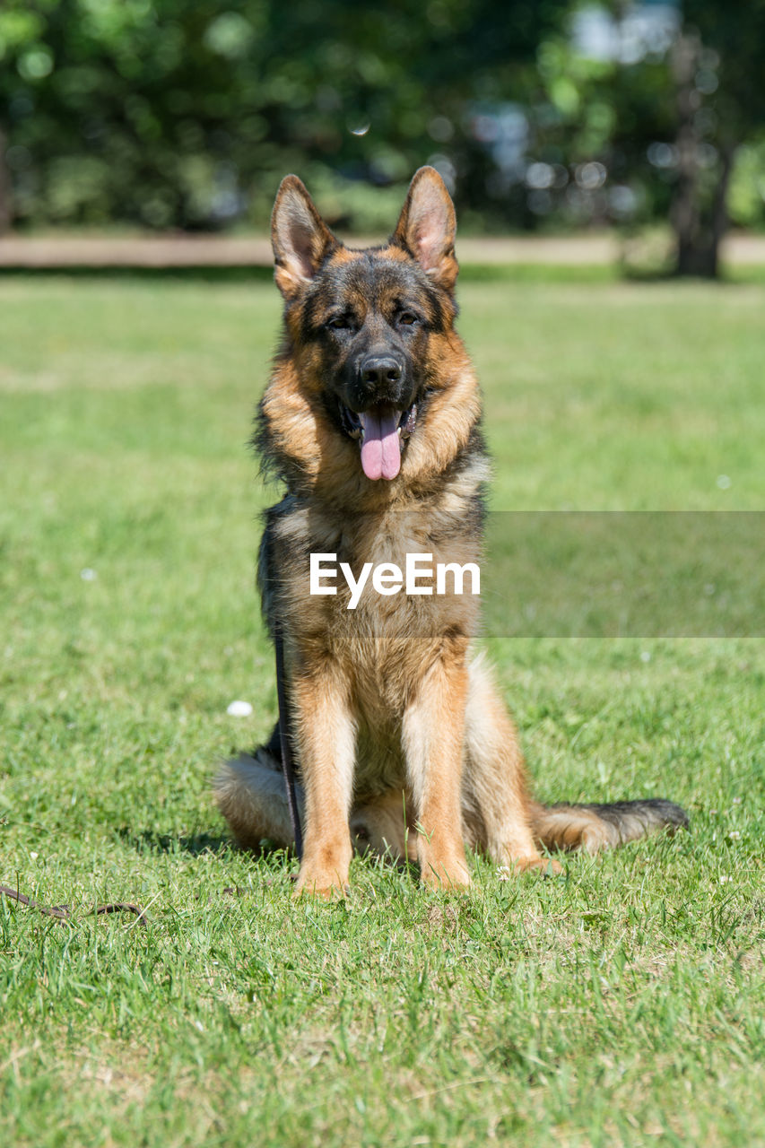 canine, dog, one animal, grass, pets, domestic, domestic animals, animal themes, mammal, plant, running, animal, nature, field, vertebrate, land, green color, german shepherd, day, portrait, no people, panting, outdoors, mouth open, animal tongue, animal mouth