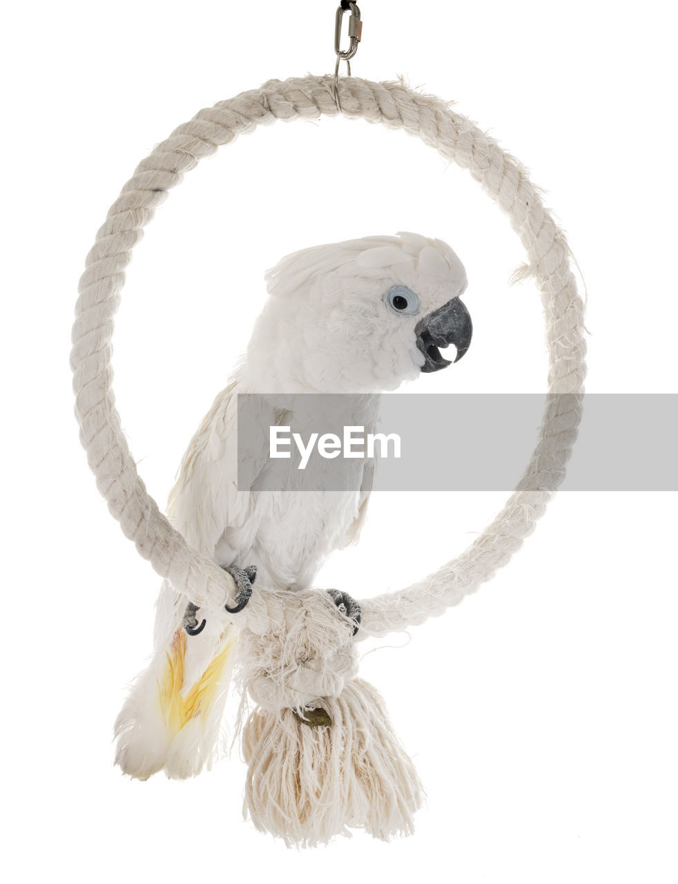 animal, vertebrate, studio shot, animal themes, white background, bird, no people, indoors, cut out, animal wildlife, white color, animals in the wild, one animal, close-up, perching, parrot, copy space, animal body part, still life, pets