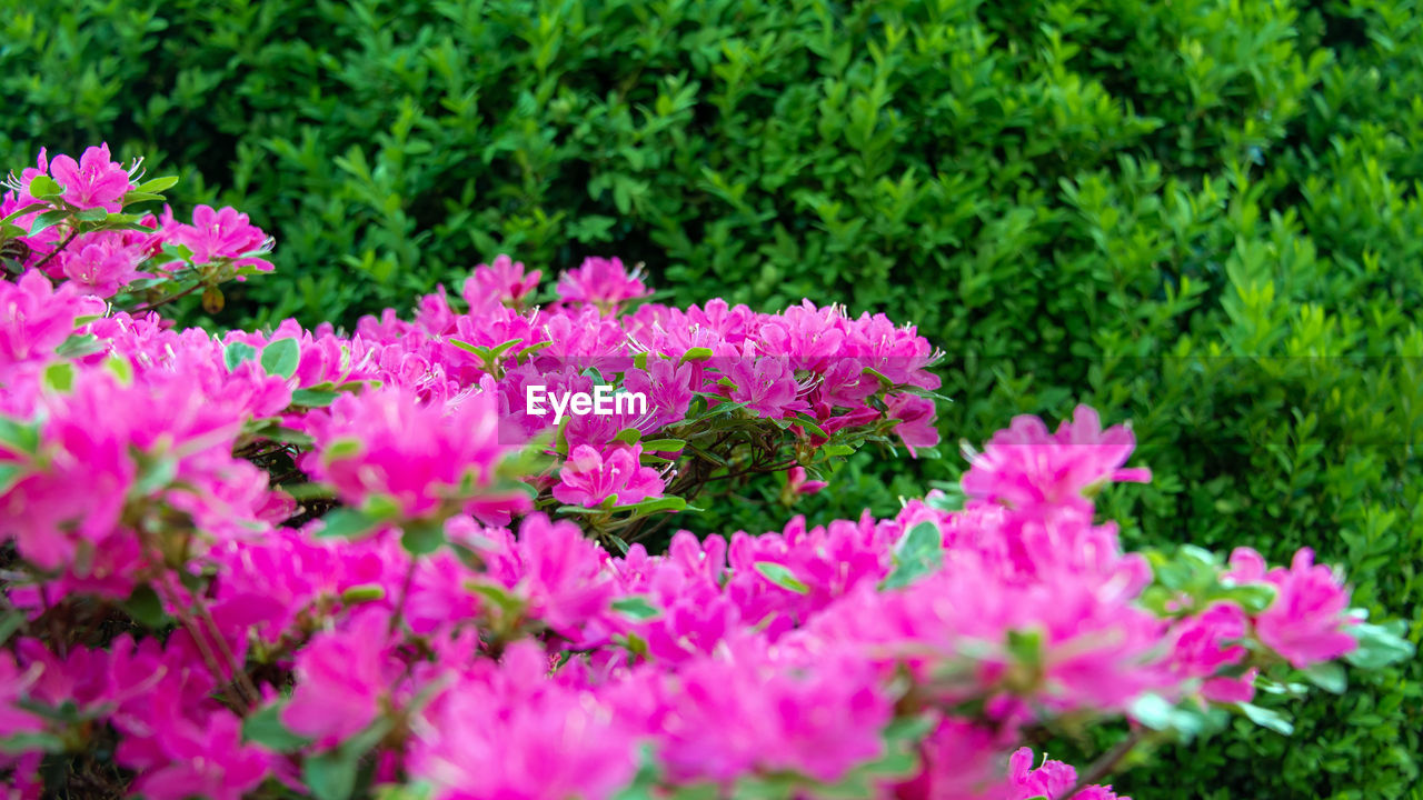 flowering plant, flower, plant, pink color, beauty in nature, growth, freshness, fragility, vulnerability, nature, green color, petal, close-up, inflorescence, flower head, no people, selective focus, day, outdoors, leaf, springtime, flowerbed