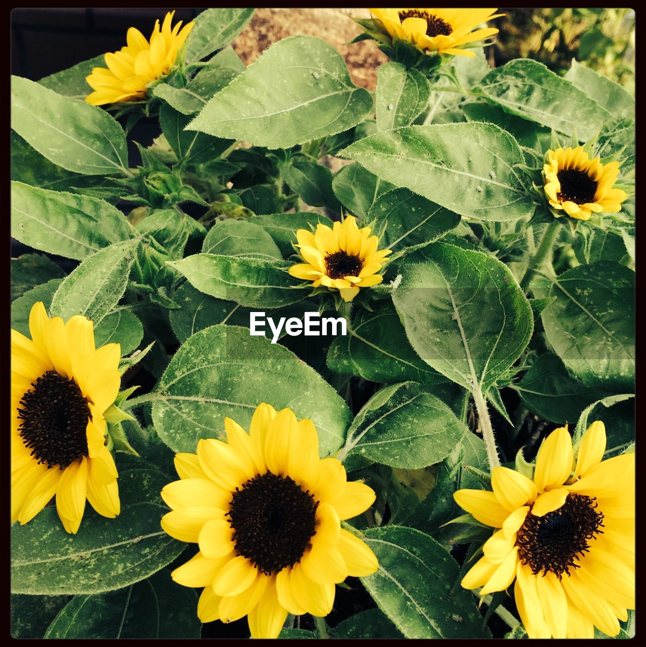flower, yellow, freshness, fragility, petal, flower head, growth, beauty in nature, nature, plant, blooming, sunflower, pollen, close-up, black-eyed susan, in bloom, transfer print, blossom, leaf, focus on foreground