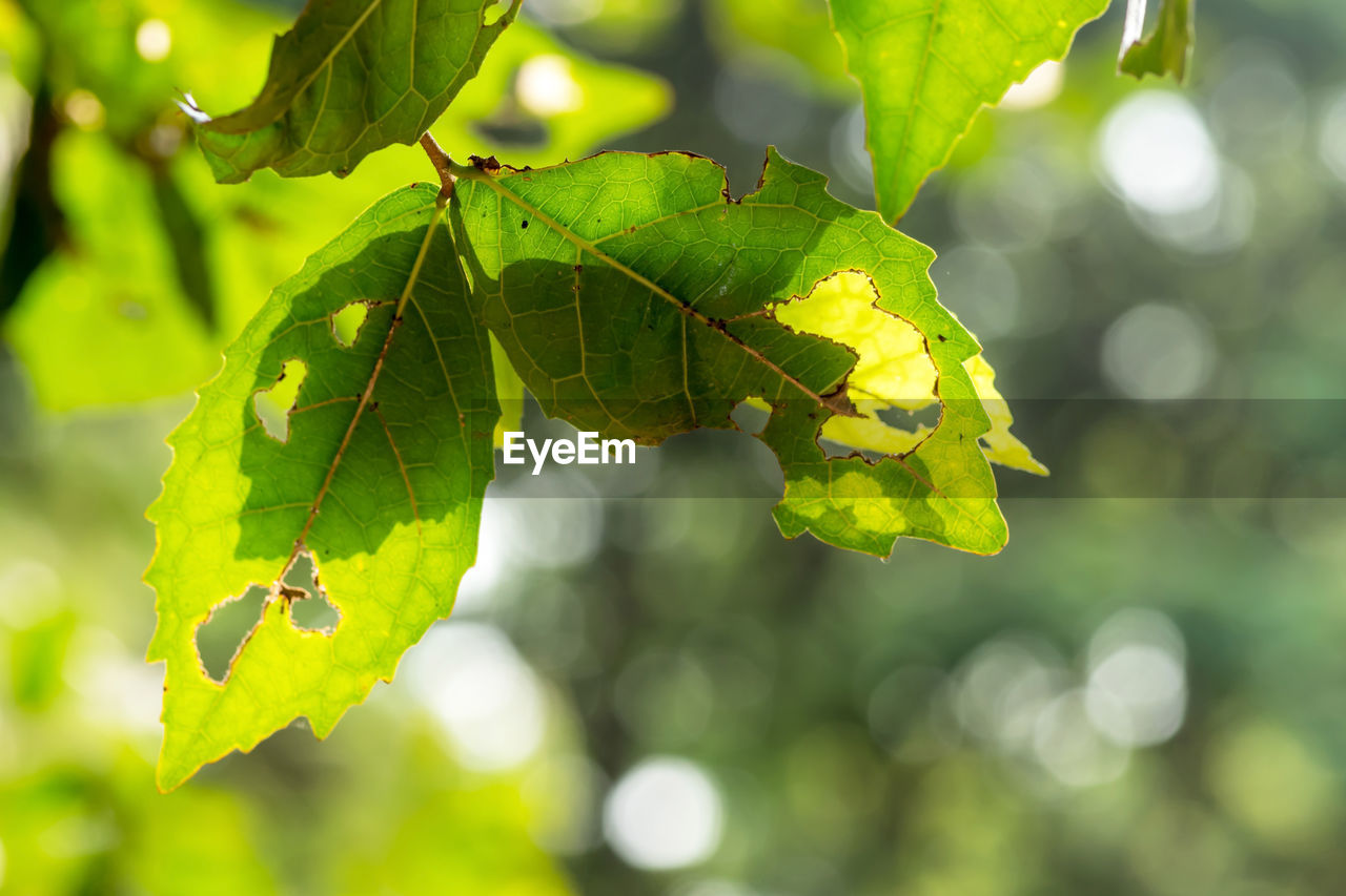 leaf, plant part, green color, plant, growth, focus on foreground, close-up, nature, day, beauty in nature, no people, sunlight, outdoors, tranquility, leaf vein, tree, selective focus, animal, leaves, insect