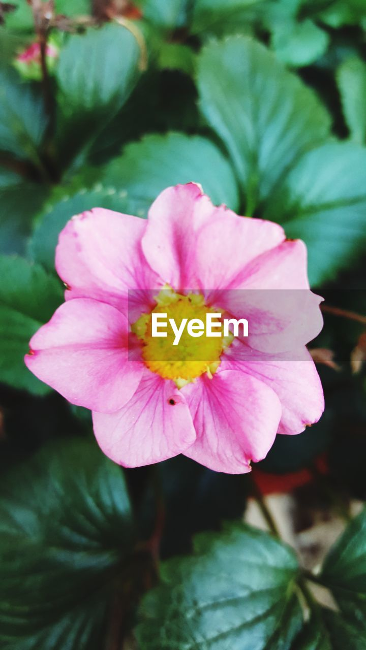 flower, petal, beauty in nature, nature, flower head, fragility, pink color, plant, freshness, growth, outdoors, close-up, day, no people, yellow, blooming