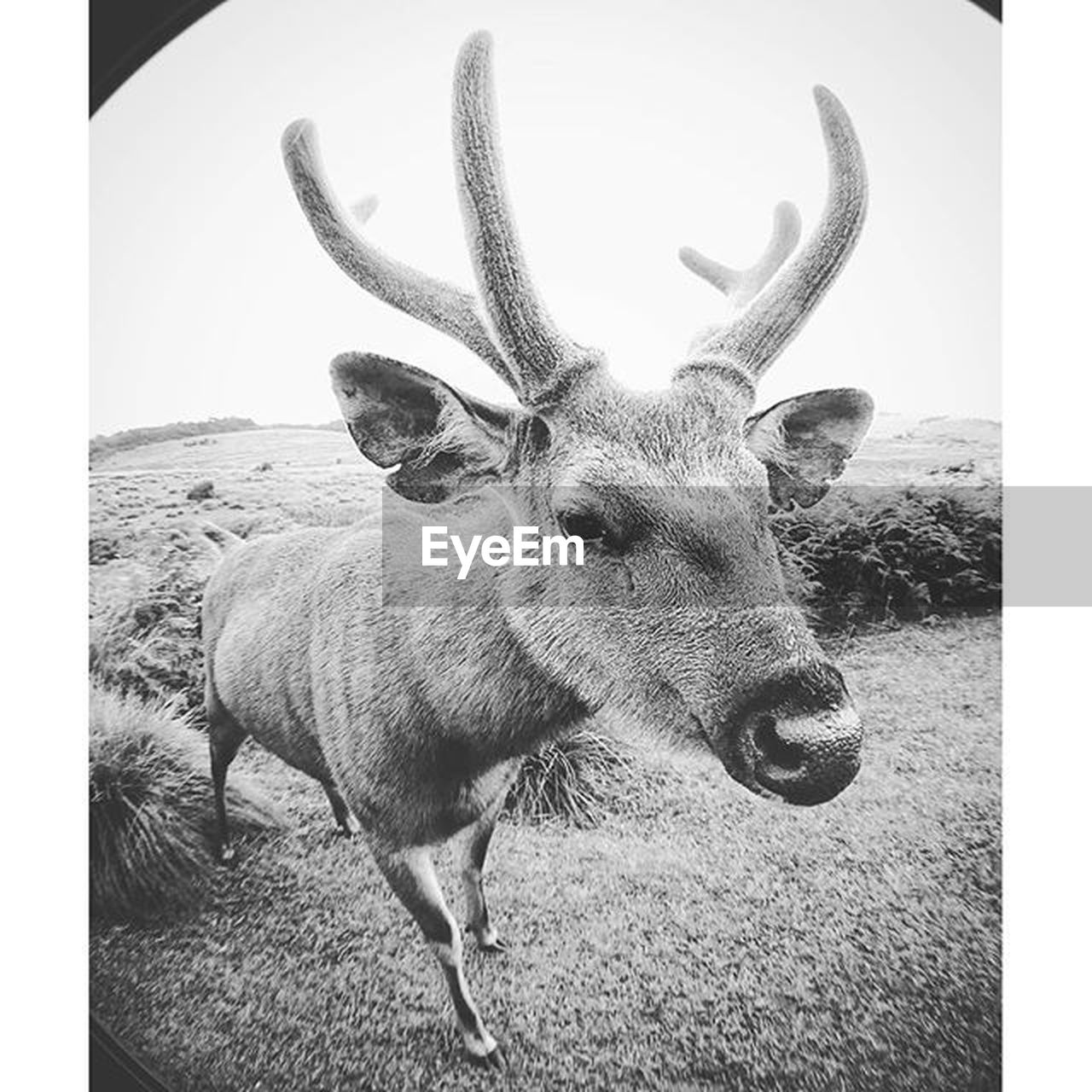 deer, antler, animal themes, mammal, no people, day, animals in the wild, one animal, outdoors, reindeer, nature, stag, portrait, close-up