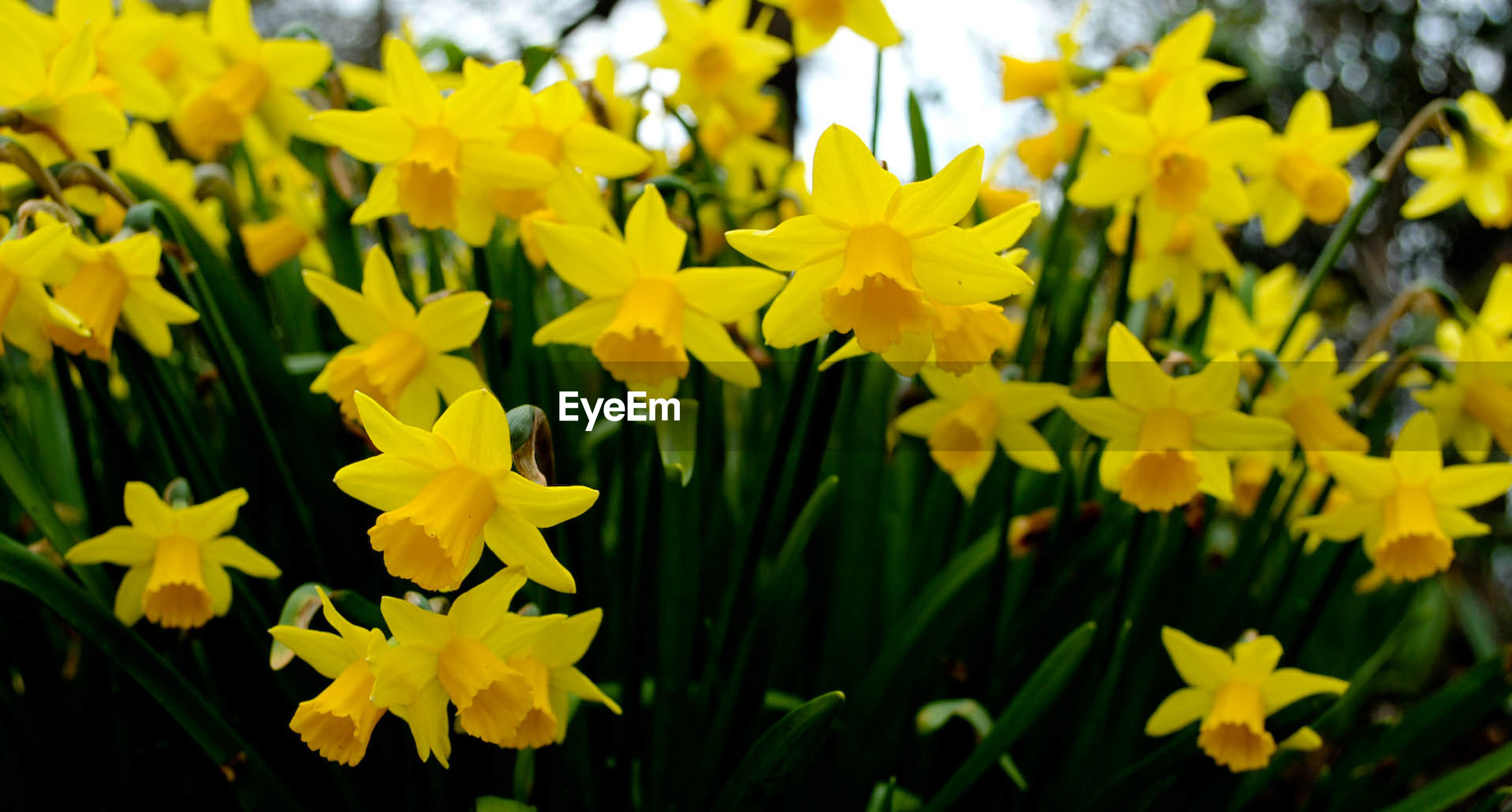 Blossoming daffodils in the spring