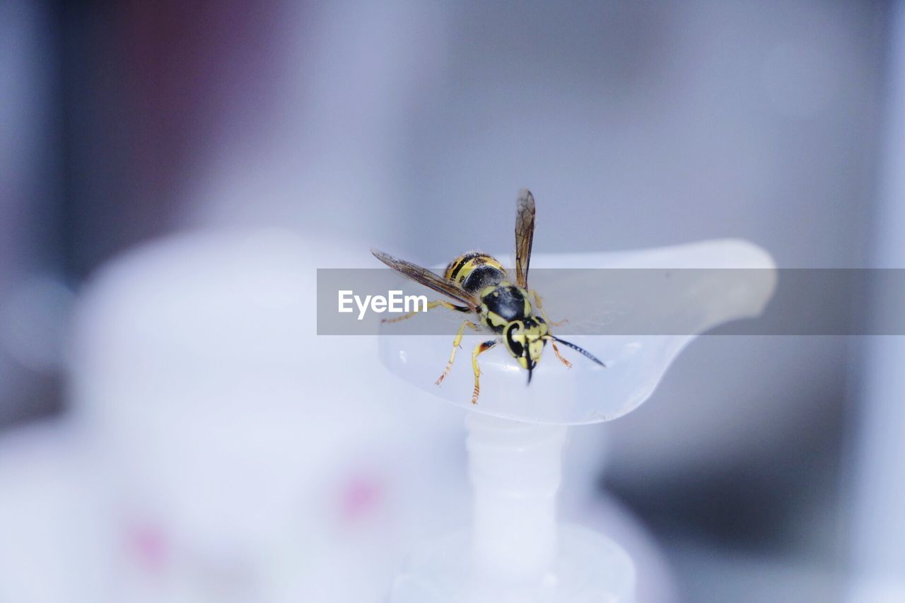 invertebrate, insect, animal themes, animal, one animal, animal wildlife, animals in the wild, close-up, selective focus, no people, day, white color, beauty in nature, animal wing, fly, bee, flowering plant, nature, focus on foreground, flower, flower head, pollination