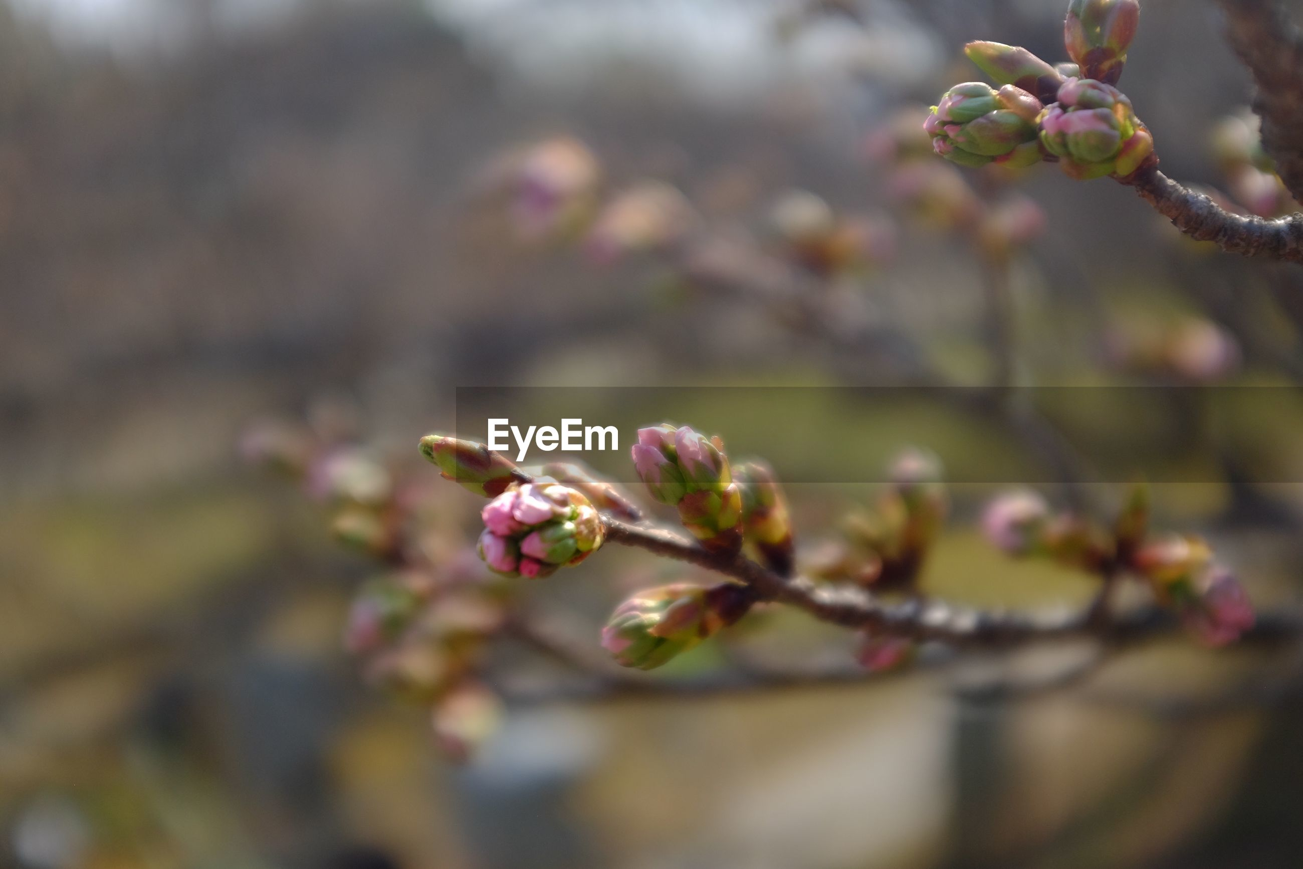CLOSE-UP OF CHERRY BLOSSOM ON BRANCH
