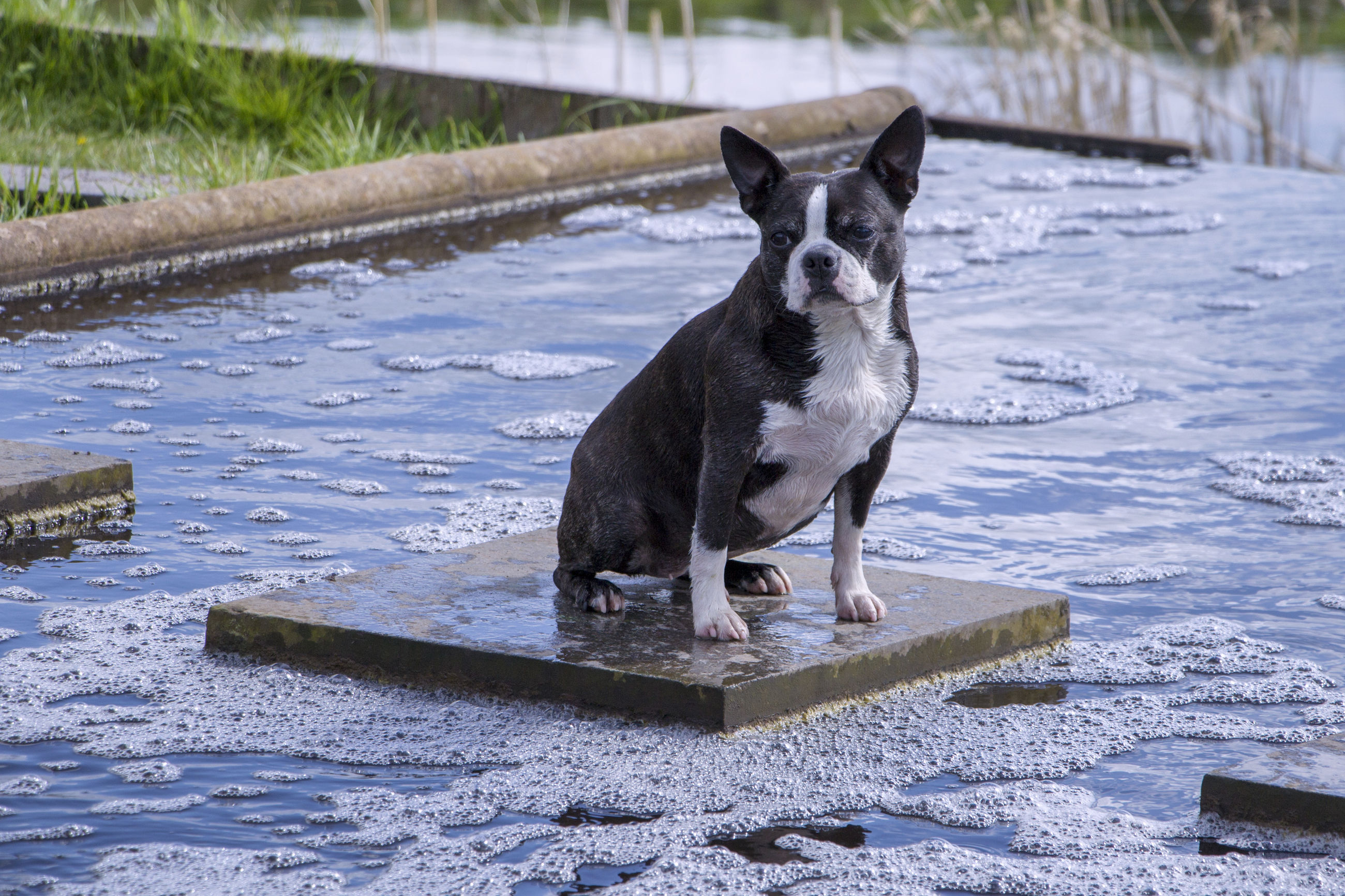 Dog on stepping stone amidst water