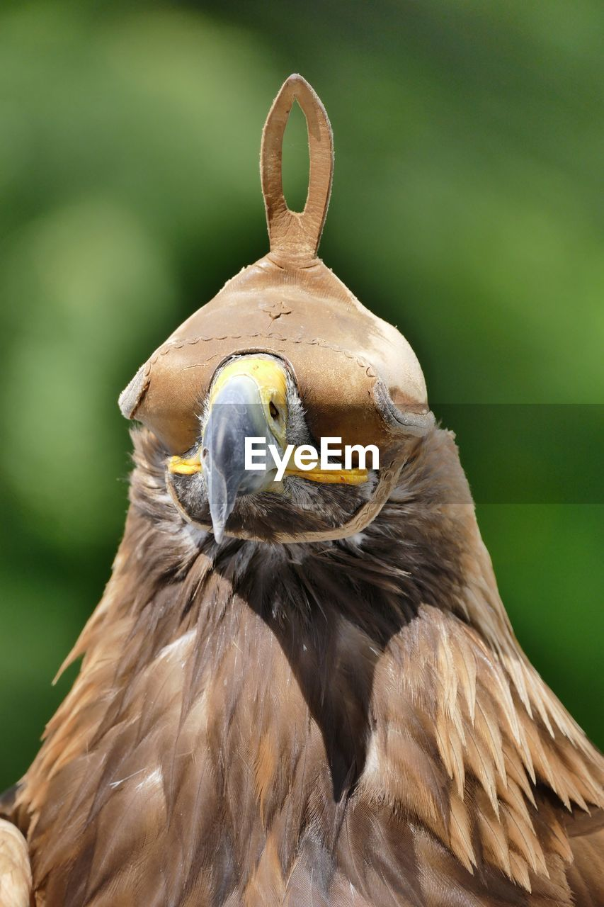 Close-Up Of Golden Eagle In Hood