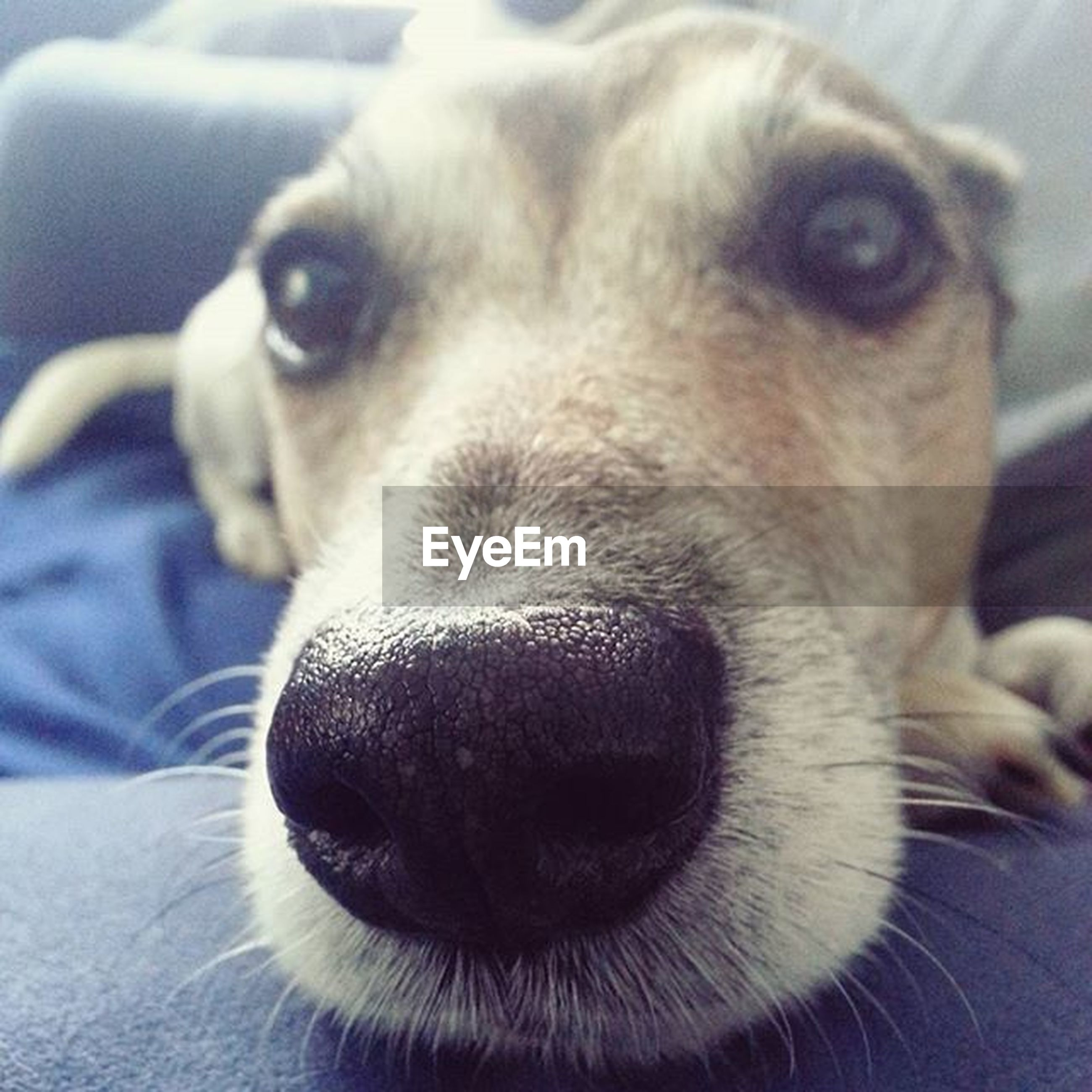 pets, dog, domestic animals, animal themes, one animal, mammal, indoors, close-up, animal head, animal body part, relaxation, focus on foreground, snout, portrait, animal nose, looking at camera, resting, home interior, lying down, no people
