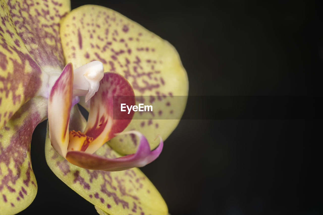 flower, flowering plant, fragility, vulnerability, beauty in nature, freshness, close-up, petal, plant, inflorescence, flower head, growth, no people, nature, focus on foreground, copy space, orchid, yellow, studio shot, springtime, pollen, black background