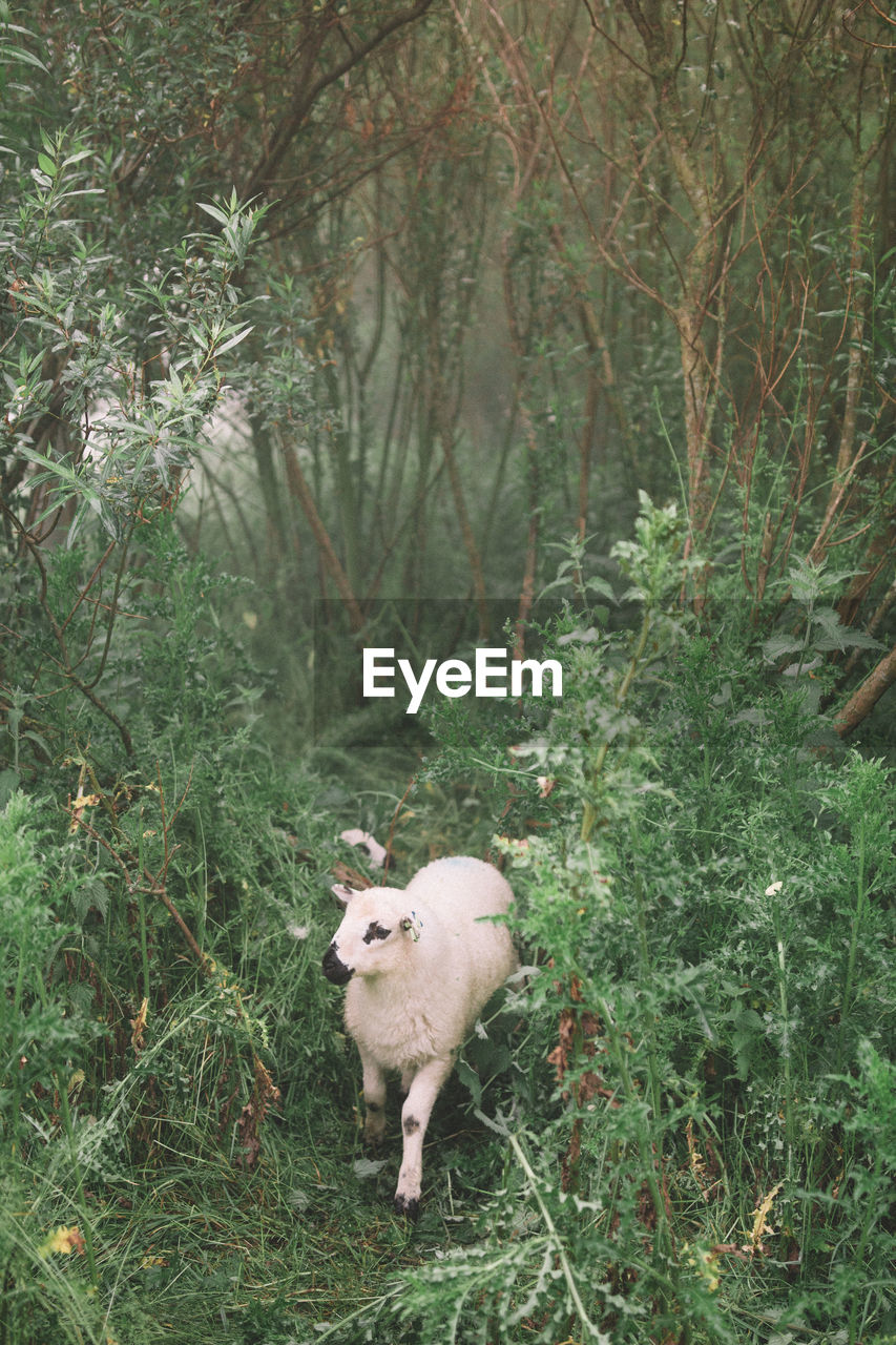 Sheep standing in a forest