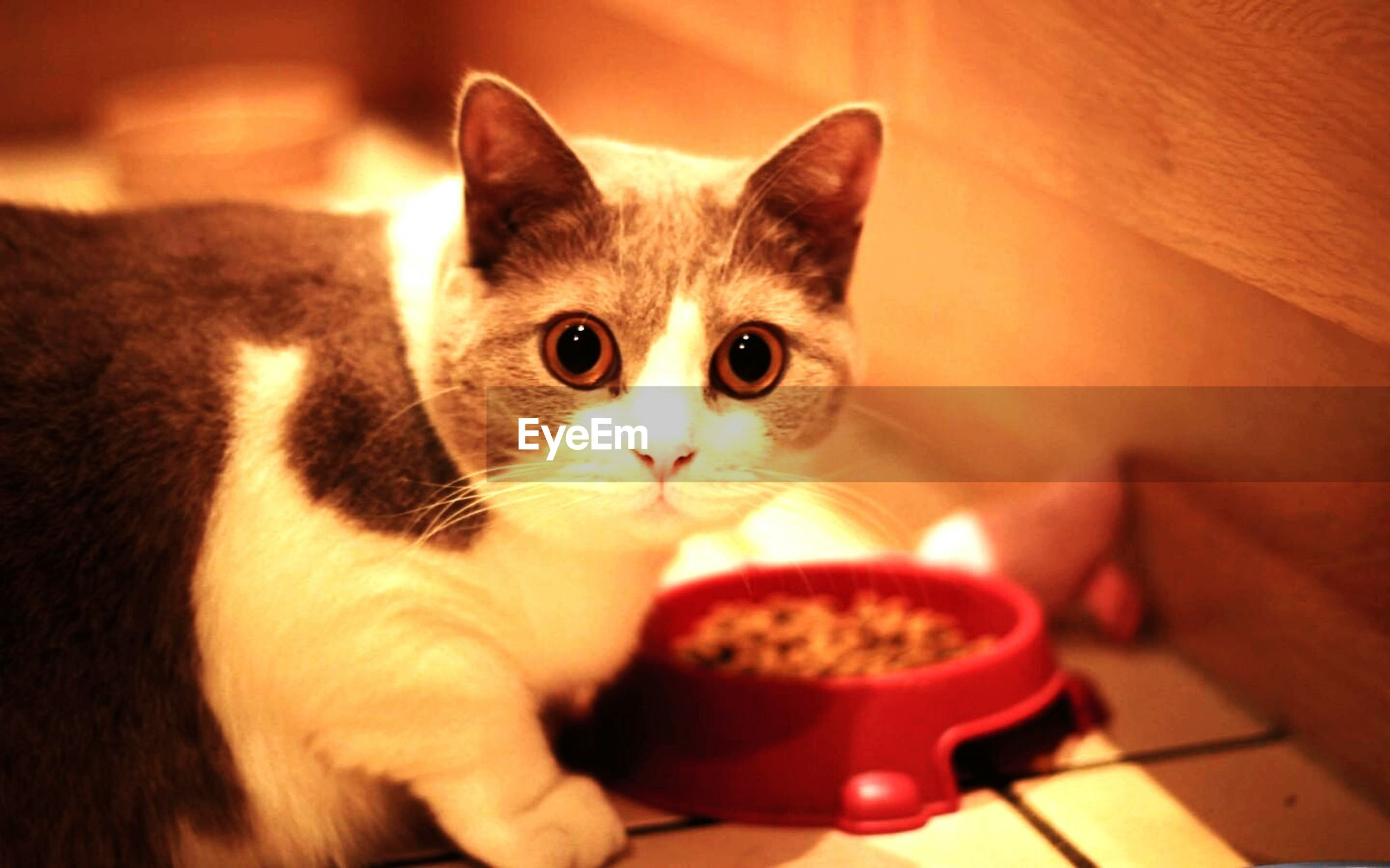pets, domestic animals, domestic cat, indoors, cat, looking at camera, animal themes, portrait, mammal, one animal, feline, whisker, home interior, table, kitten, close-up, cute, sitting, young animal, animal eye