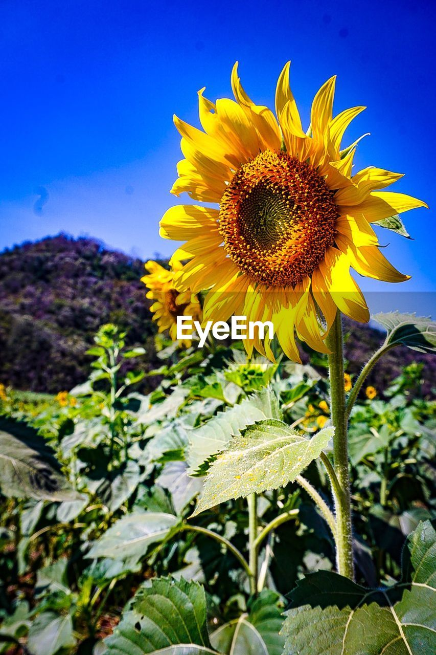 flower, yellow, nature, growth, fragility, beauty in nature, petal, plant, freshness, sunflower, flower head, no people, outdoors, field, day, blooming, close-up, sky, springtime, leaf