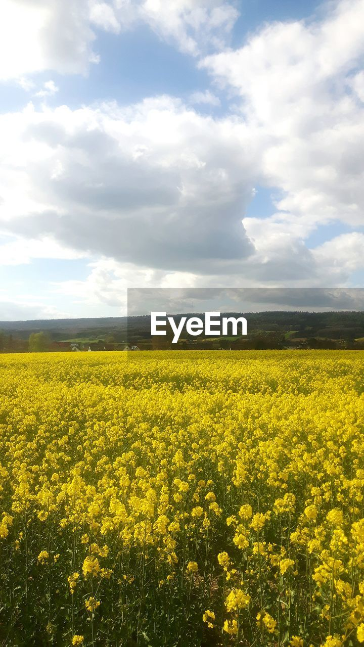 yellow, oilseed rape, nature, field, beauty in nature, agriculture, flower, tranquil scene, crop, tranquility, landscape, sky, growth, rural scene, scenics, cultivated land, no people, mustard plant, cloud - sky, day, plant, fragility, cultivated, freshness, outdoors