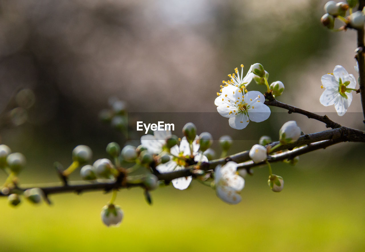 flower, plant, flowering plant, growth, fragility, beauty in nature, freshness, vulnerability, close-up, tree, branch, selective focus, blossom, white color, springtime, petal, nature, day, focus on foreground, twig, no people, flower head, outdoors, pollen, cherry blossom, plum blossom, cherry tree