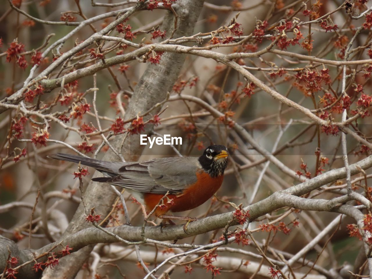 bird, vertebrate, perching, animal wildlife, tree, animal themes, animals in the wild, one animal, animal, branch, plant, day, focus on foreground, no people, selective focus, nature, red, beauty in nature, outdoors, close-up