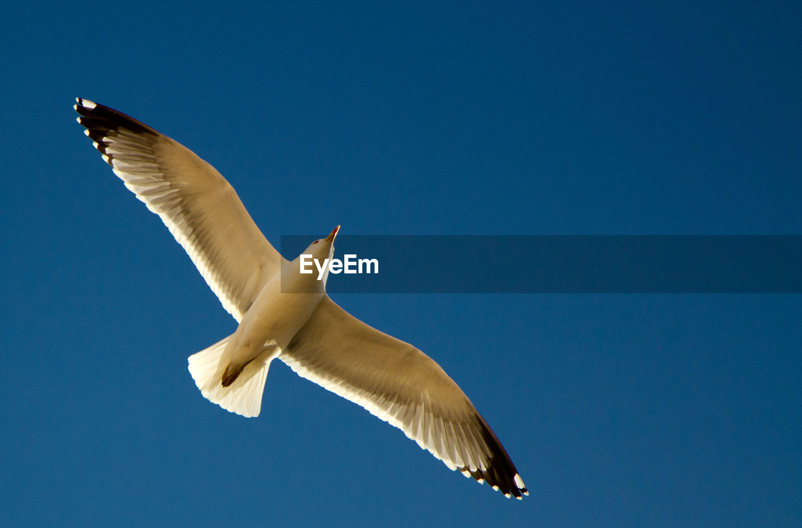 Directly below view of seagull flying against clear blue sky