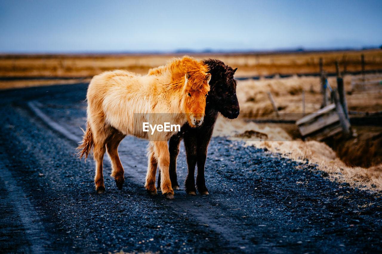 Icelandic horses standing on road