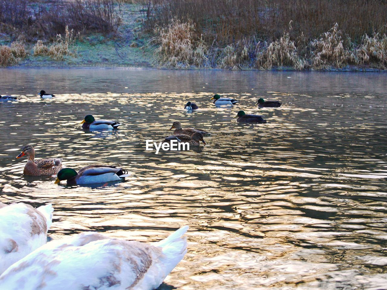Swans and ducks swimming in lake during winter
