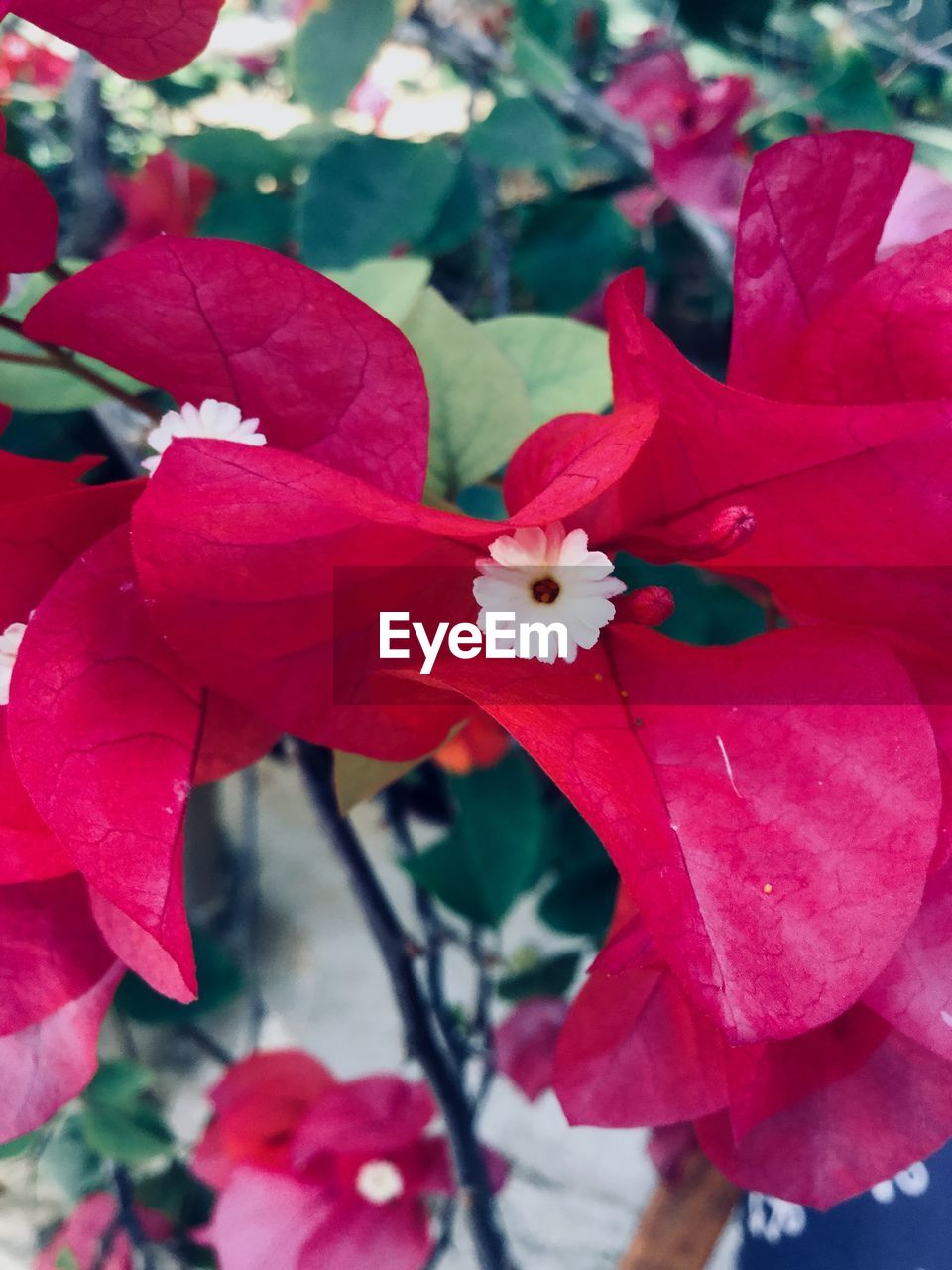 flowering plant, flower, plant, beauty in nature, petal, fragility, freshness, vulnerability, growth, flower head, close-up, inflorescence, red, focus on foreground, no people, day, nature, pink color, outdoors, blossom, pollen