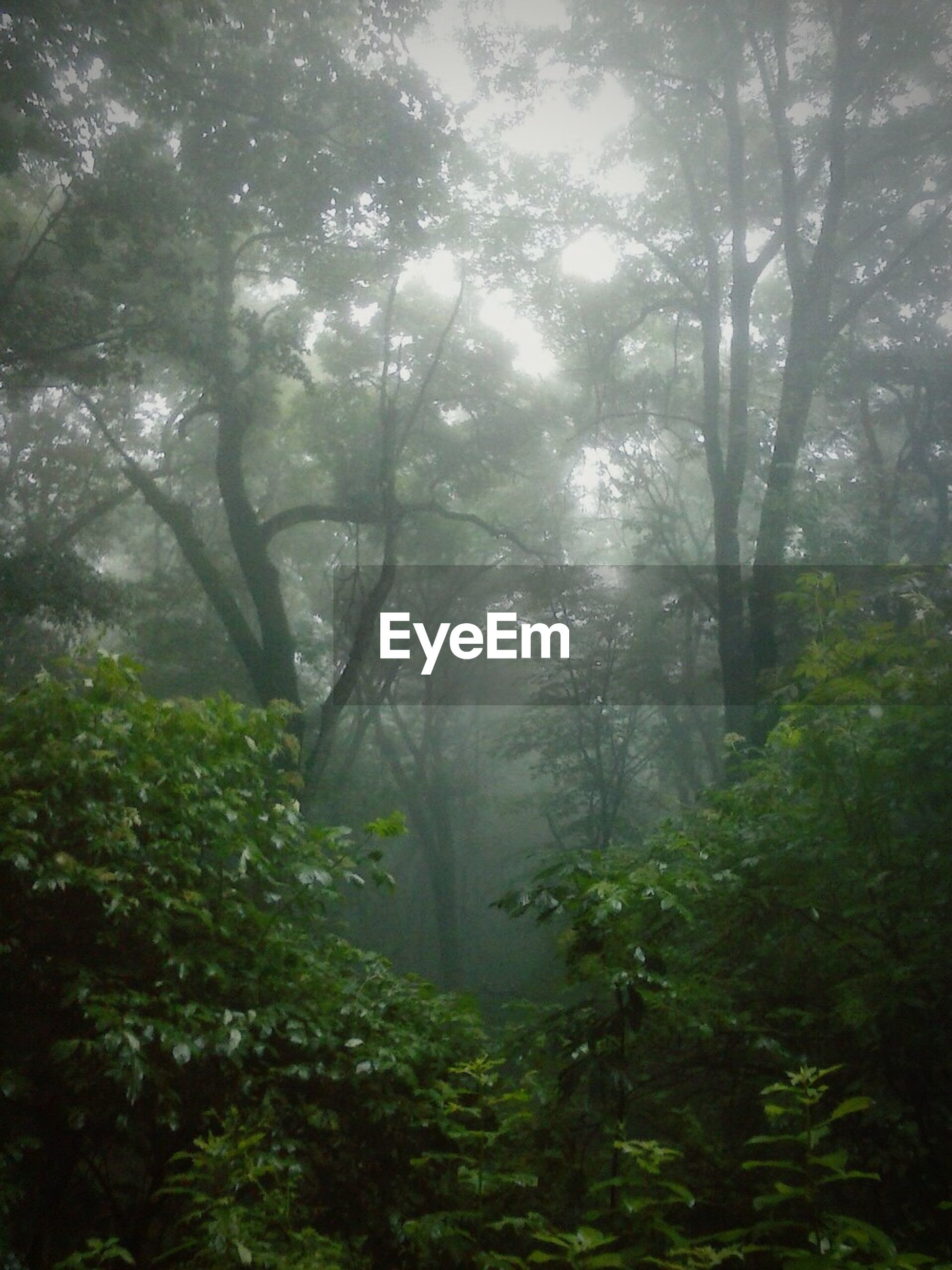 forest, tree, growth, tranquility, lush foliage, tranquil scene, fog, nature, plant, beauty in nature, environment, scenics, green color, tree trunk, non-urban scene, green, woodland, ethereal, foggy, woods, wilderness, sunbeam, branch, majestic, day, outdoors, back lit, remote, tourism, solitude, freshness