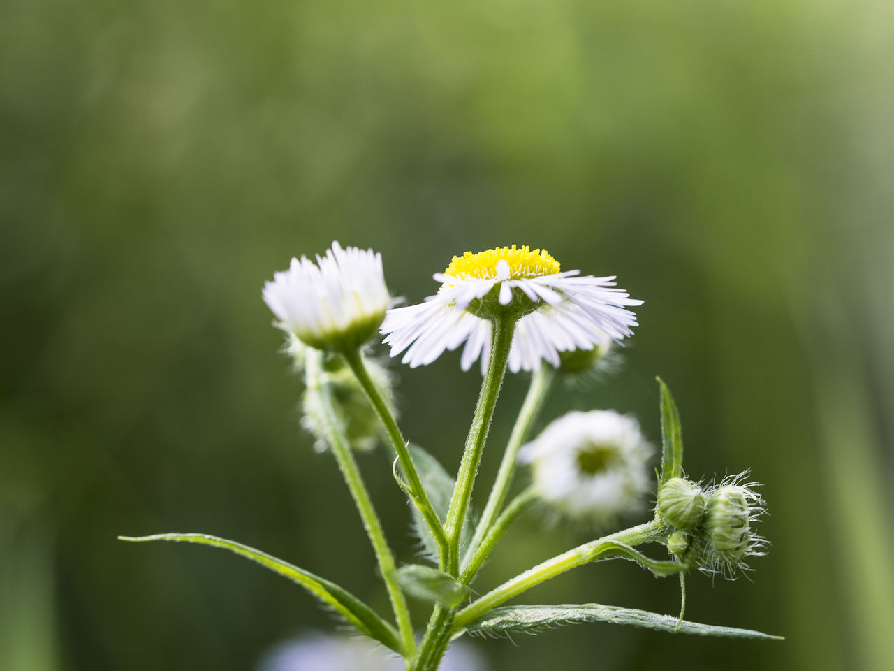 Close-up of white daisies growing outdoors