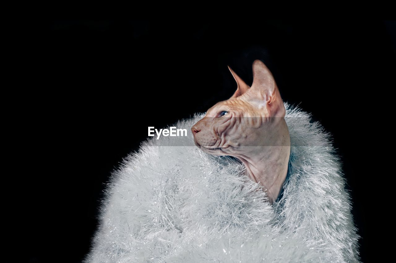 Close-Up Of Sphynx Hairless Cat Wearing White Fur Coat Against Black Background