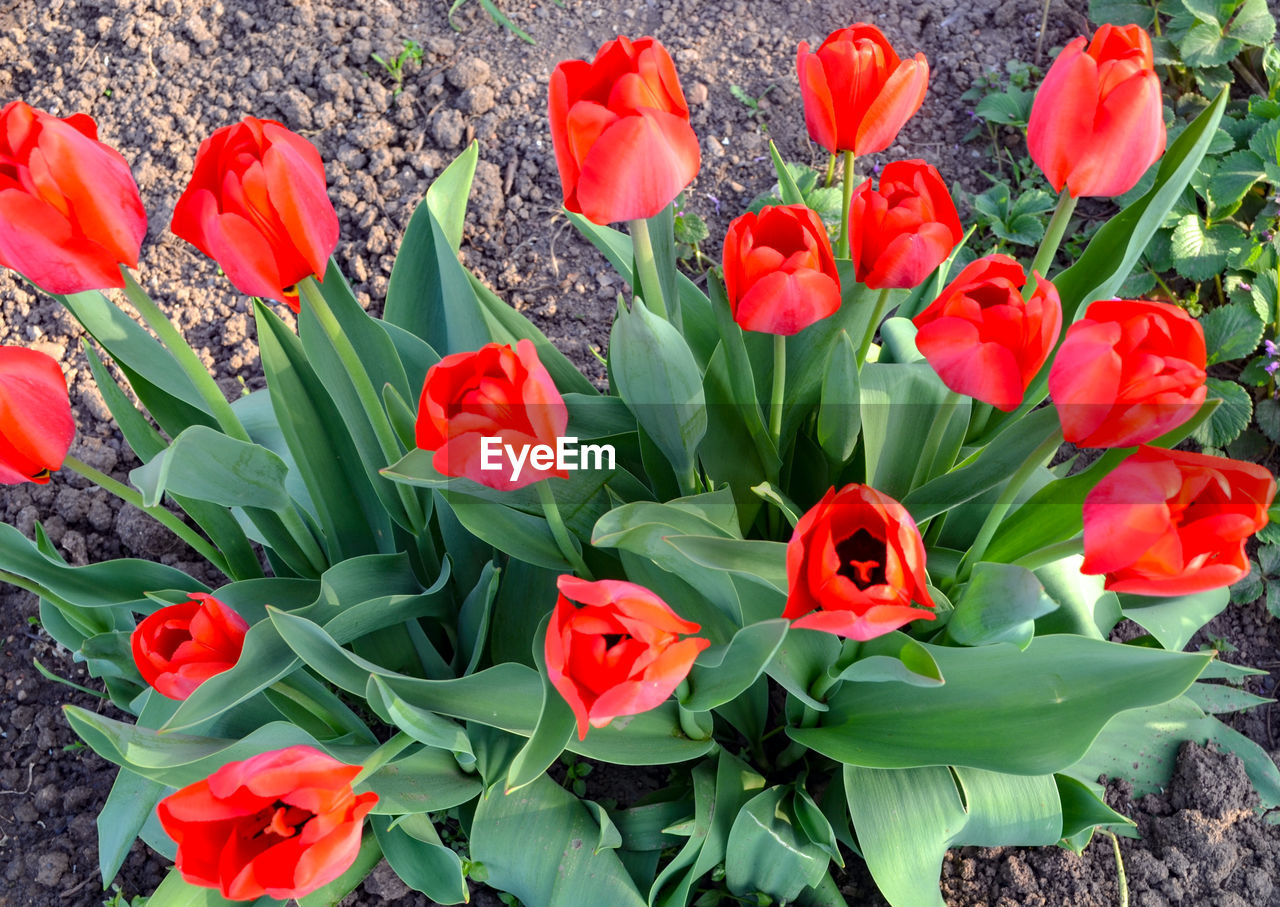 flowering plant, flower, plant, petal, beauty in nature, fragility, vulnerability, freshness, growth, flower head, inflorescence, close-up, nature, red, green color, no people, tulip, plant part, leaf, high angle view, outdoors, flowerbed, bouquet