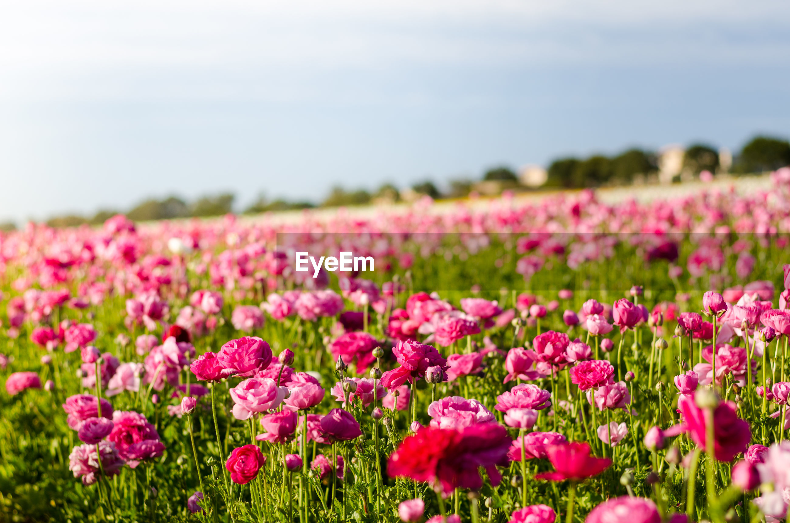 Close-up of pink flowers blooming in field
