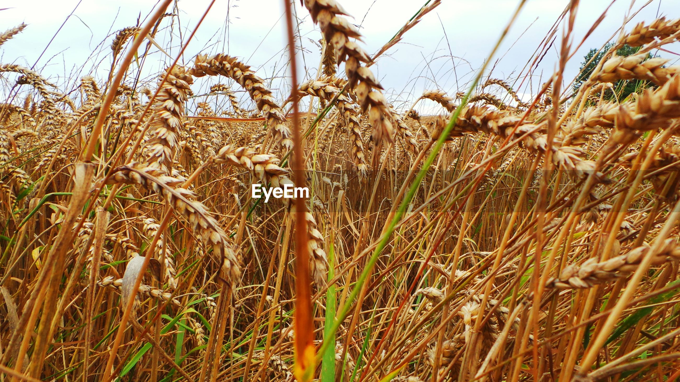 Close-up of wheat crops in field
