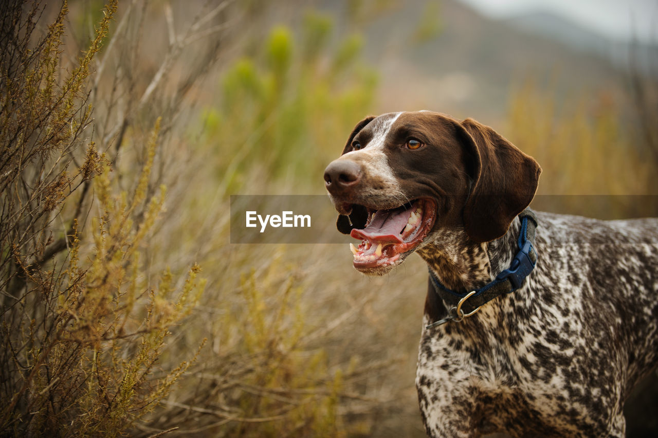 German short-haired pointer looking away