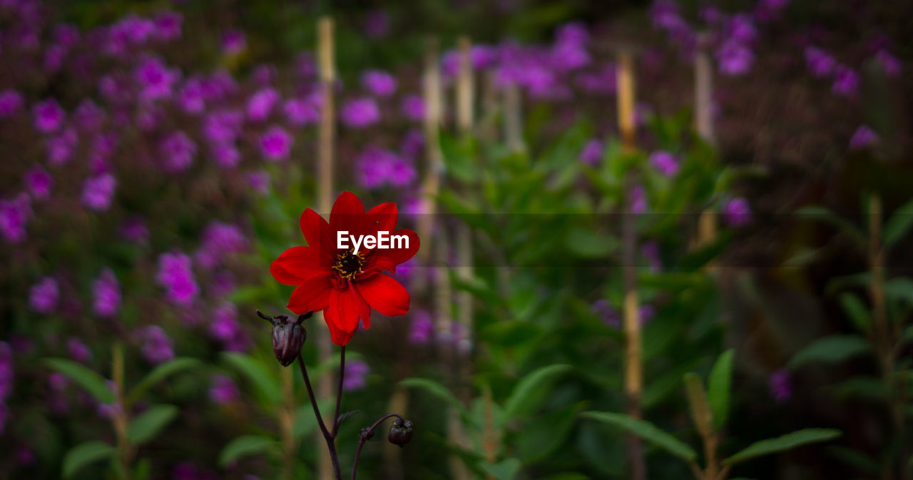 flower, growth, plant, nature, petal, focus on foreground, beauty in nature, blooming, fragility, no people, outdoors, freshness, flower head, day, close-up