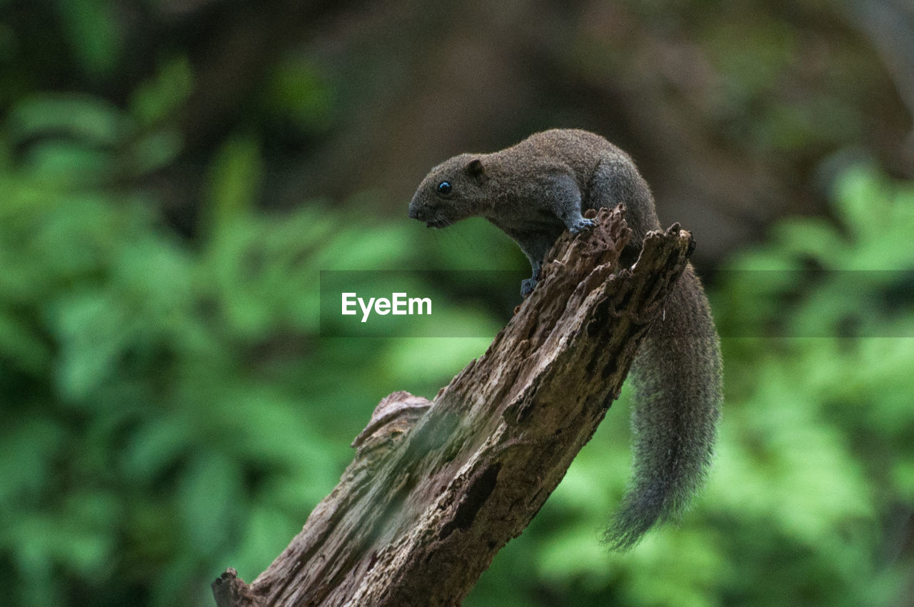 one animal, animals in the wild, focus on foreground, nature, tree, no people, outdoors, animal themes, branch, animal wildlife, squirrel, day, mammal, close-up